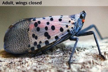 The Spotted Lanternfly: 10 Tips to Fight the Infestation