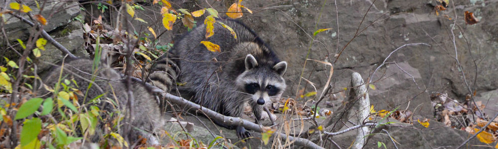 raccoon-by-french-creek-1000x300